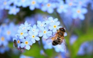 Bee on forget-me-not flower